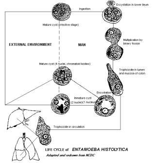Entamoeba — Кафедра «Медицинская кибернетика и информатика»